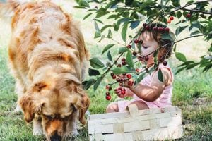 Golden retriever and young girl with basket sitting under cherry tree which is toxic for dogs