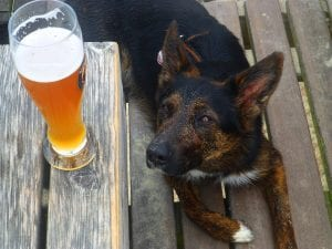 German shepherd lying on deck looking up at beer toxic for the dog on table