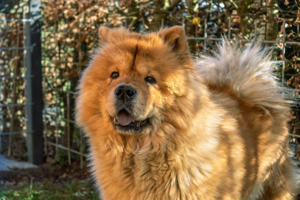 One breed of early 1900s presidential presidential dog was the Chow Chow