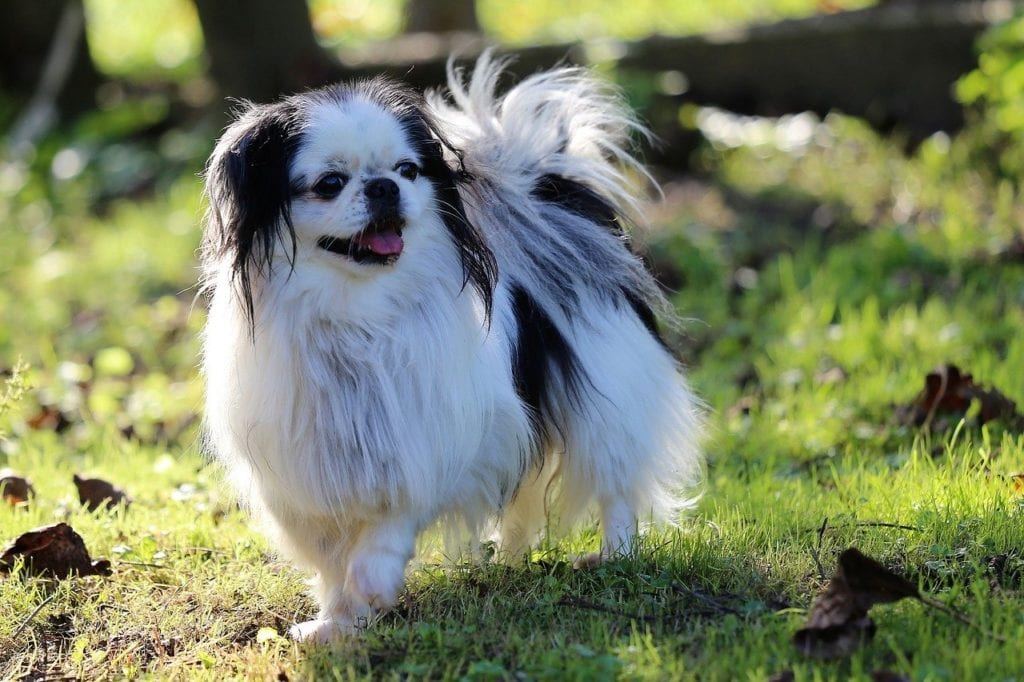 A Japanese Chin like Franklin Pierce's early presidential dog