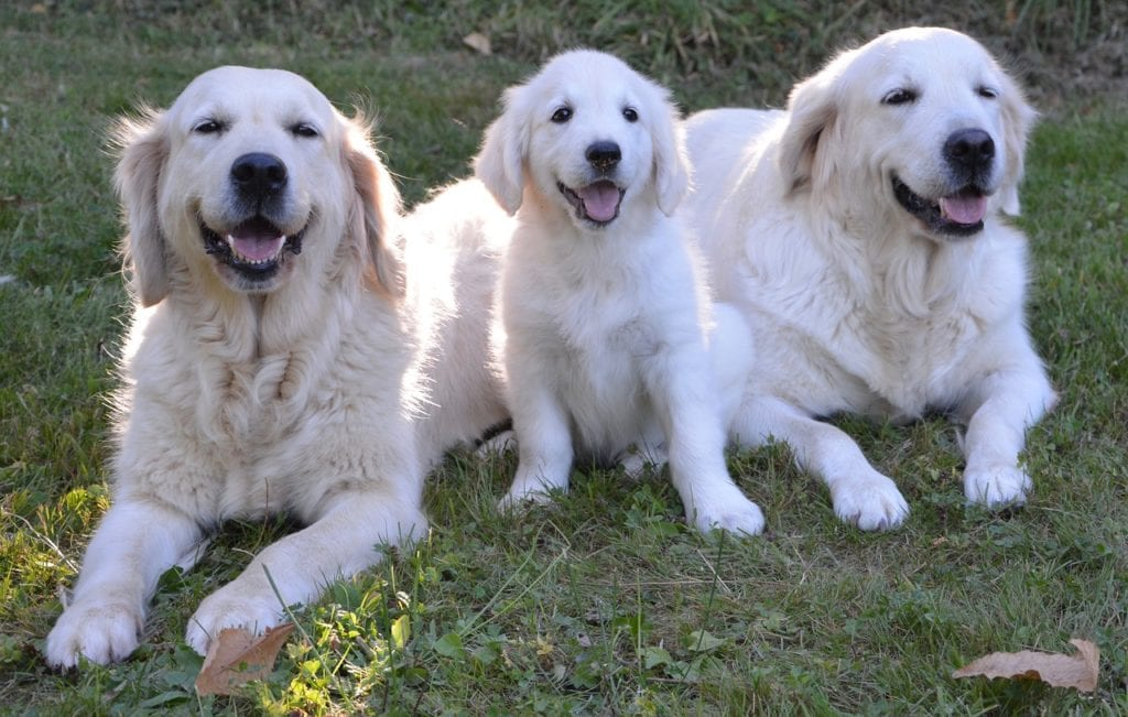 About the Golden Retriever's many qualities