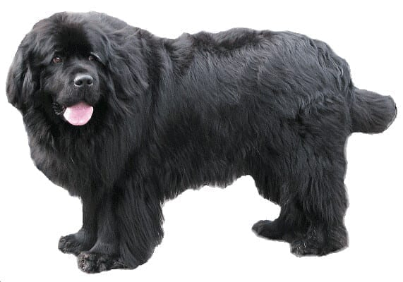 The Newfoundland was a popular early presidential dog and was owned by three different presidents