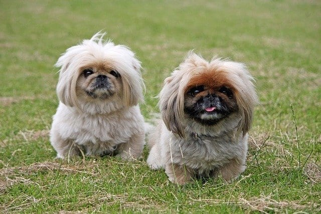 The Pekingese was the smallest of the early 1900s presidential dogs