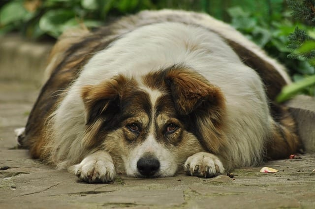 Obesity in dogs is a health issue