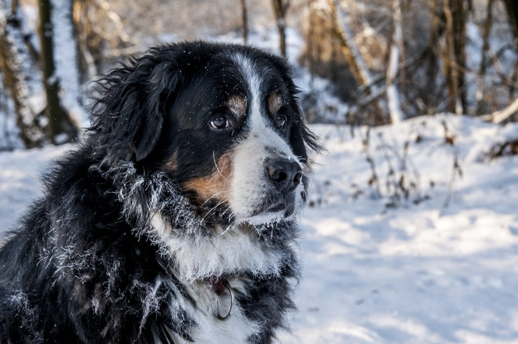 The Bernese Mountain Dog in a snowy backdrop