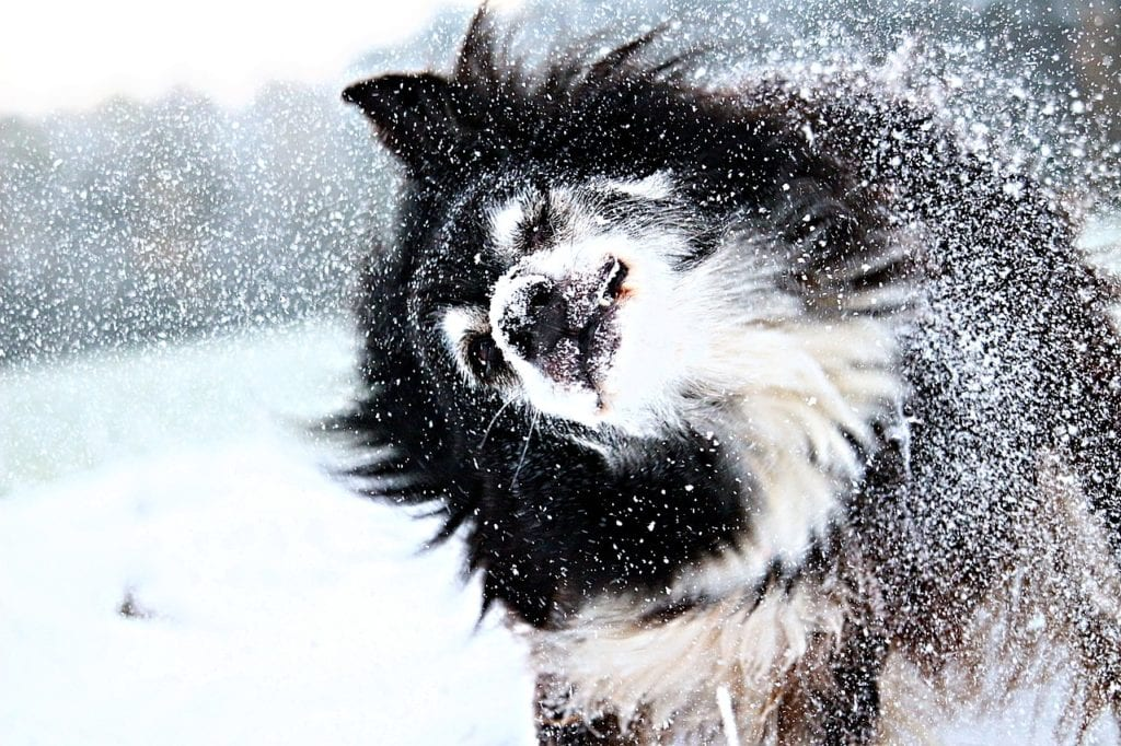 This Collie is shaking off the snow and ice