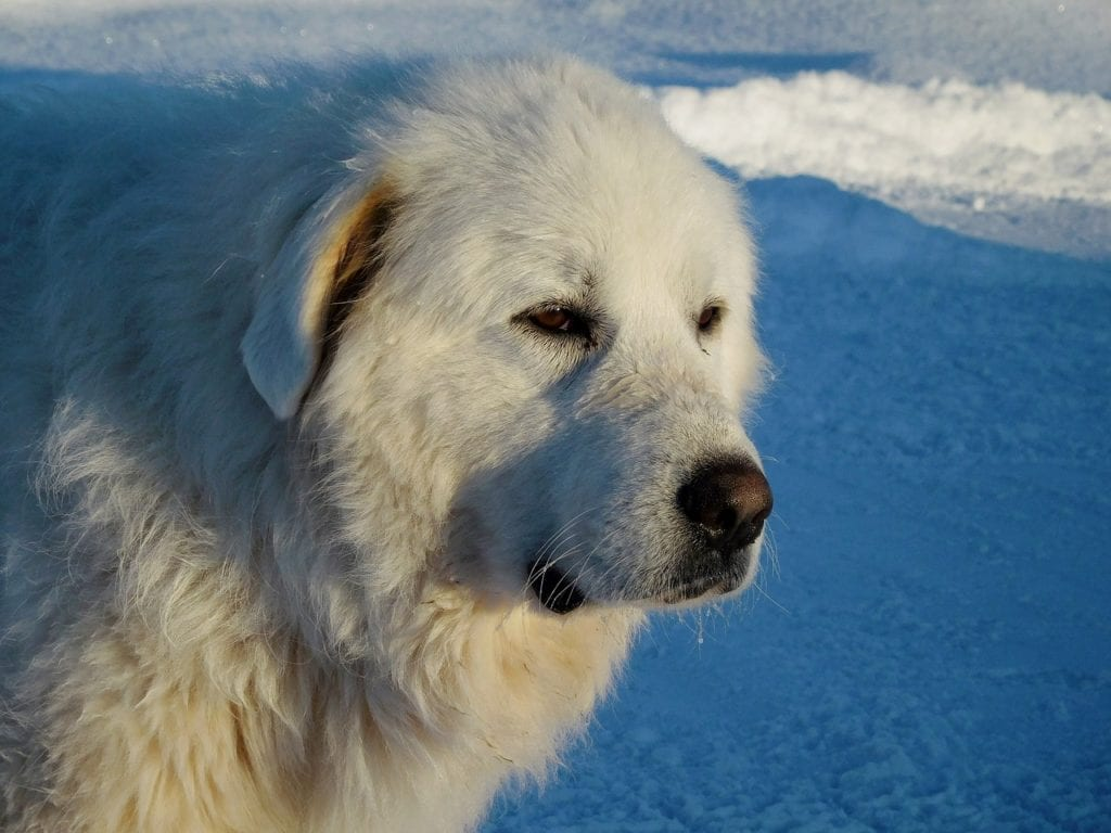 The Great Pyrenees is one of the best dogs for cold weather
