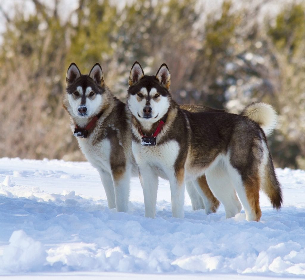 The Alaskan Malamute is a great snow sledding dog