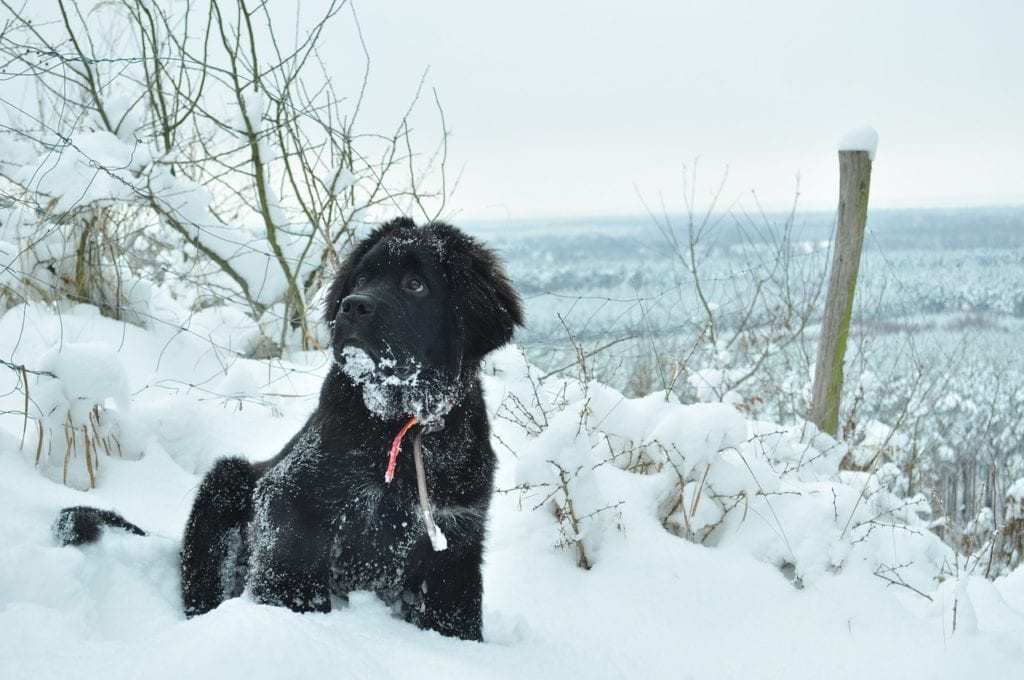 The Newfoundland is one of the best dogs for cold weather