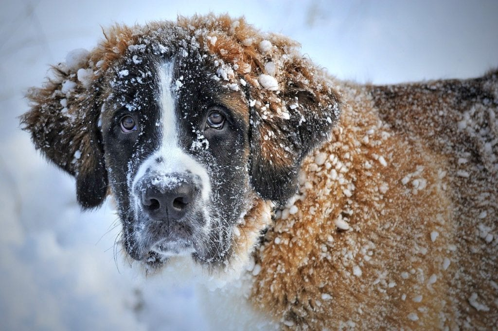 The Saint Bernard is great for snow rescues