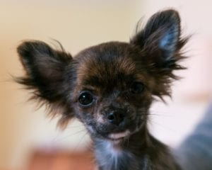 9 Common Dog Ear Types Such as Bat Ears on a Chihuahua