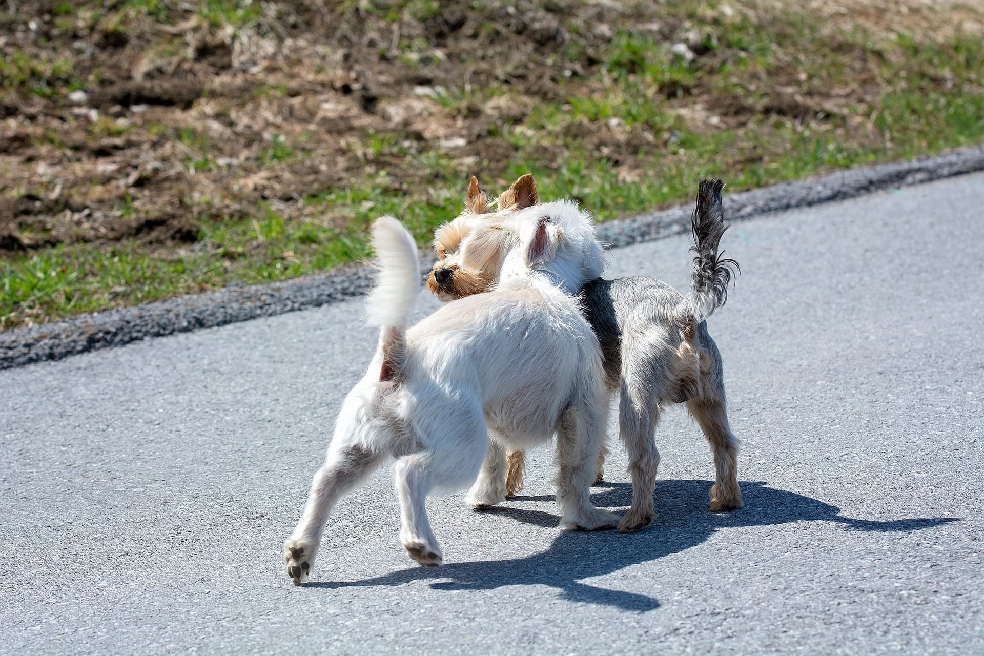 Dogs sniffing each others behinds