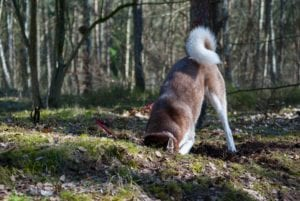 Husky sticky his head in a hole and his curly tail sticky straight up in the air