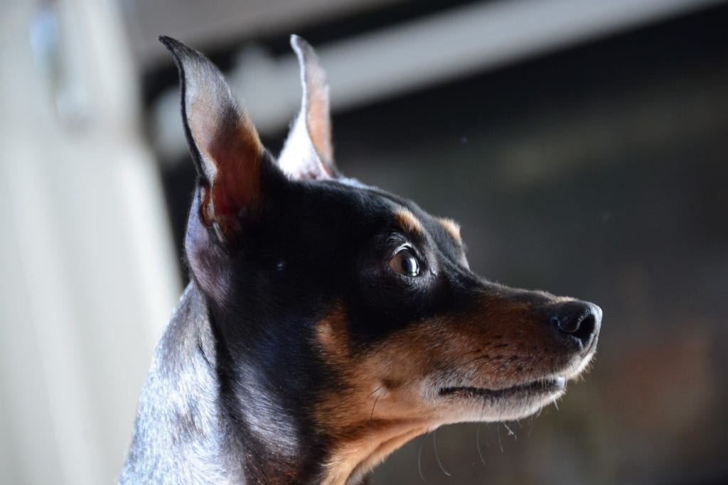 Miniature Pinschers have erect ears and a proud attitude