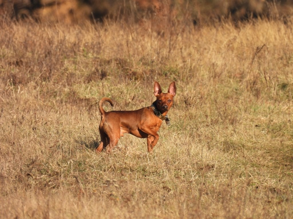 A red Miniature Pinscher with cropped ears and a natural tail