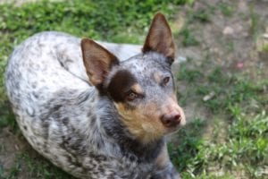 Australian Cattle Dog lays in the grass