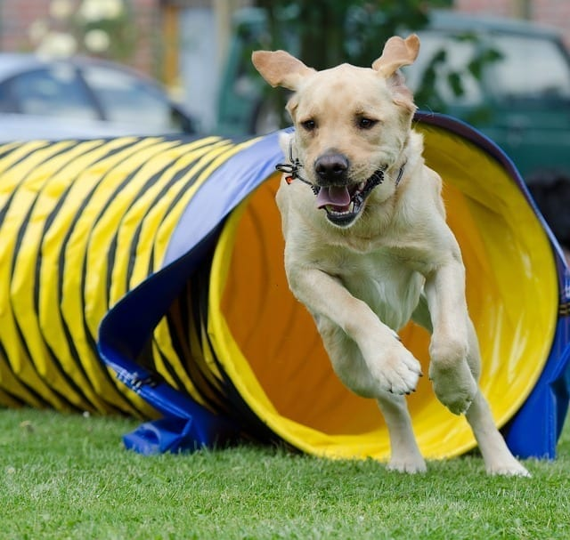 This golden labrador retriever is exiting an opened ended tunnel in an agility event.