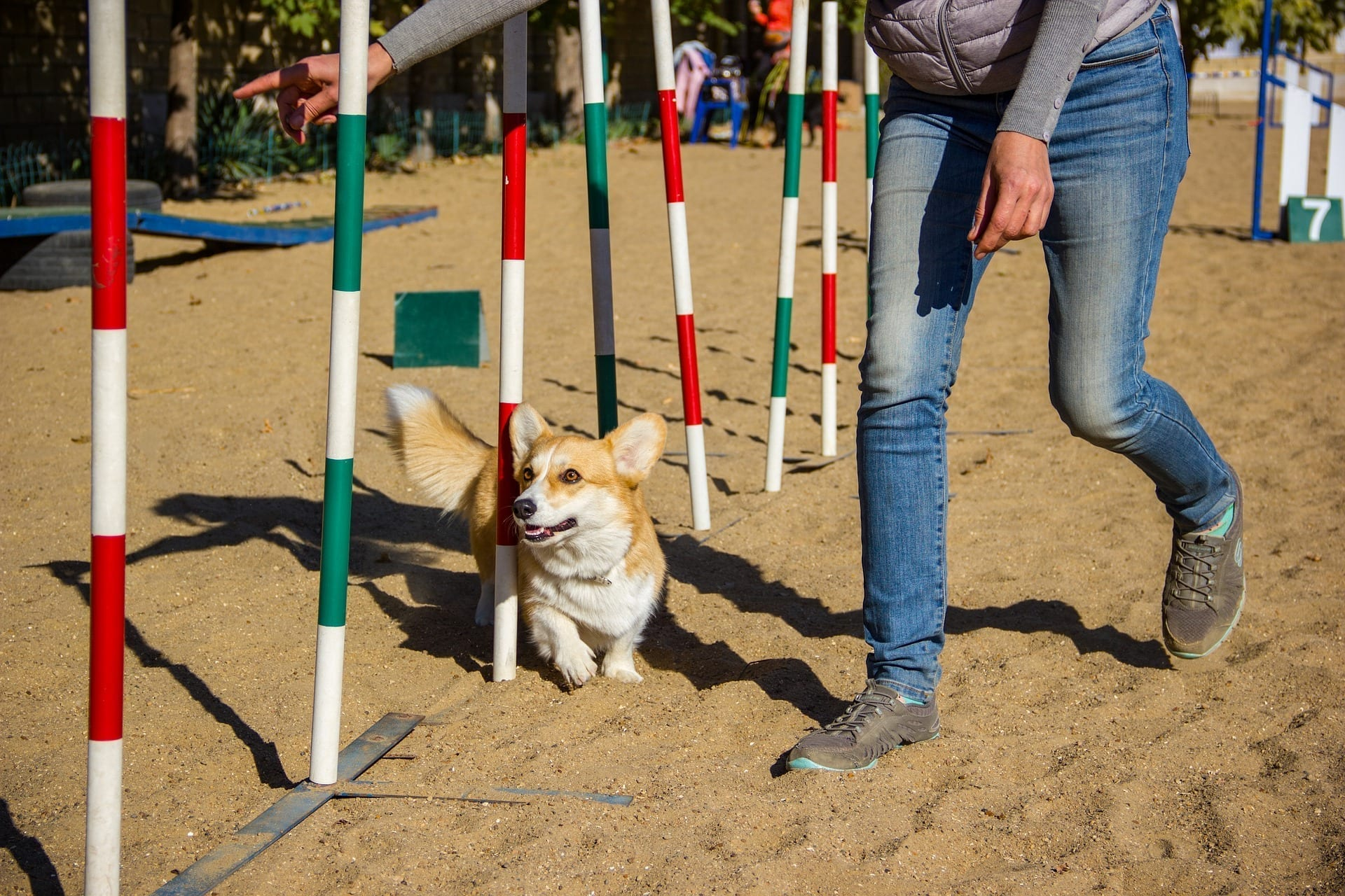 Pembroke Welsh Corgi negotiates weave poles that are one of the standard dog agility course obstacles.