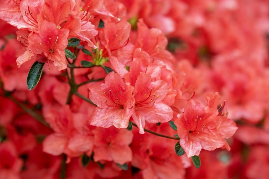 Azaleas are among the most poisonous plants for dogs.