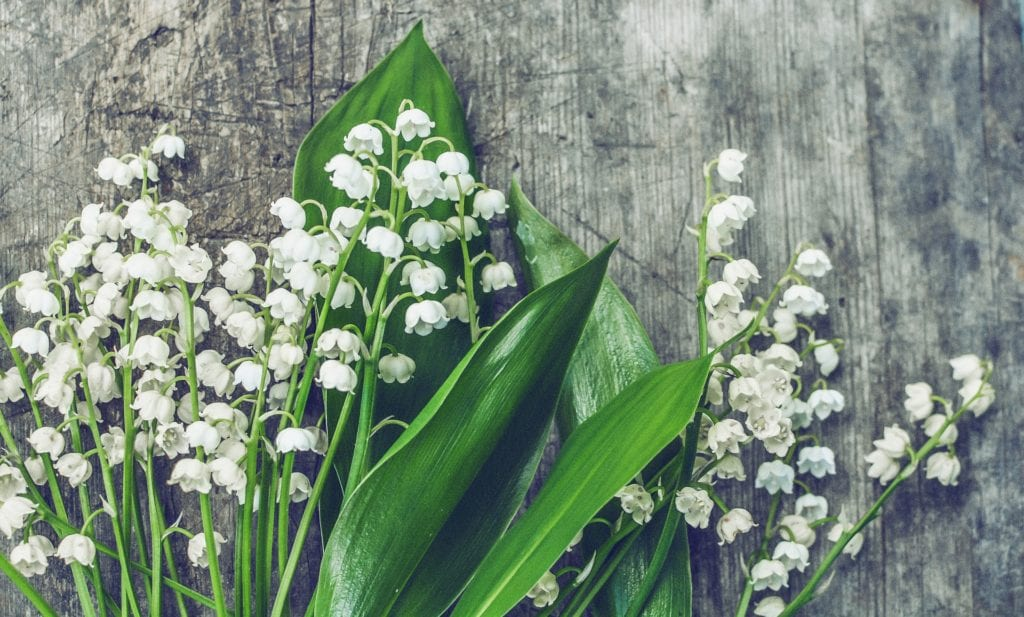 Lily of the Valley is a poisonous plant for dogs.