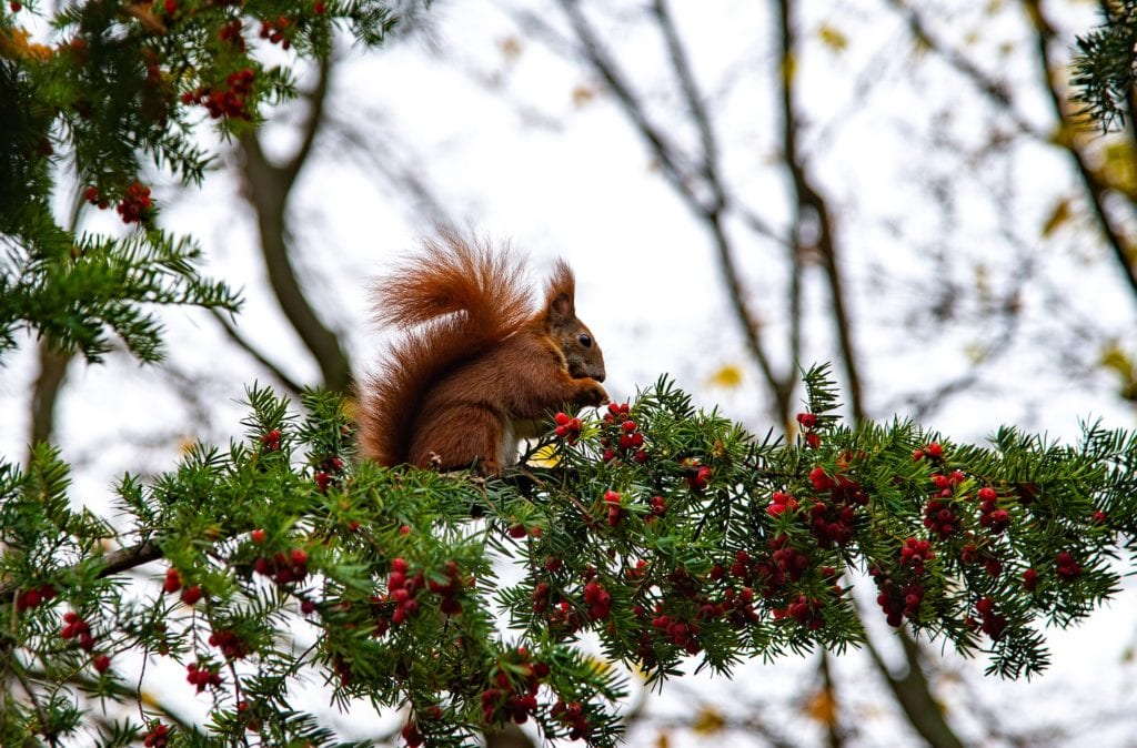 Squirrel sitting in a yew tree.