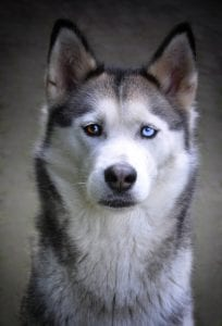 A Siberian husky. One of many dogs with different colored eyes