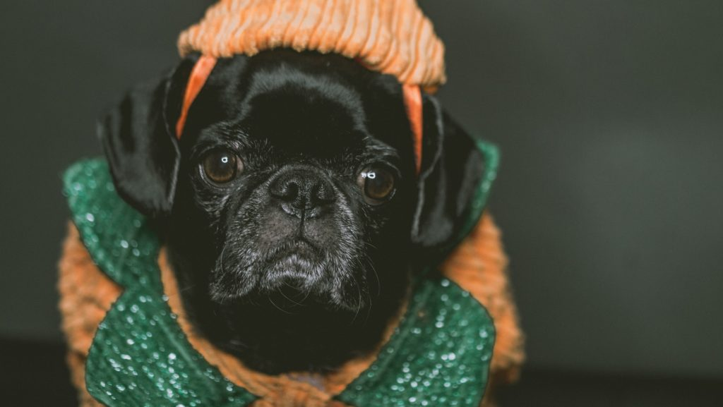 This pug is wearing a pumpkin costume.