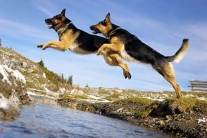 German Shepherds jumping over a river