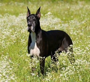 A Great Dane needs an extra large dog door