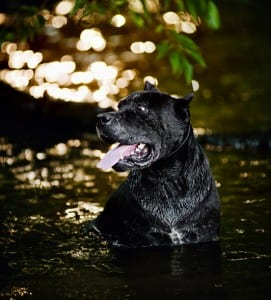 A Cane Corso requires a large or extra large PlexiDor dog door