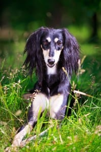 A Saluki needs a large or extra large PlexiDor dog door