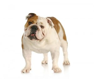 An English Bulldog needs a large PlexiDor dog door