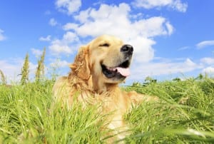 Golden retriever dog on a a grassy meadow.