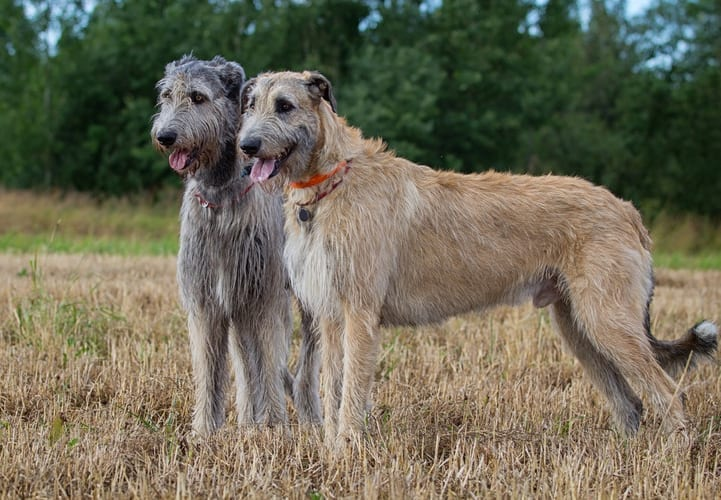 An Irish Wolfhound requires an extra large PlexiDor dog door