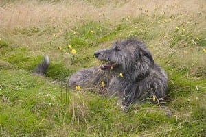 A Scottish Deerhound requires an extra large PlexiDor dog door